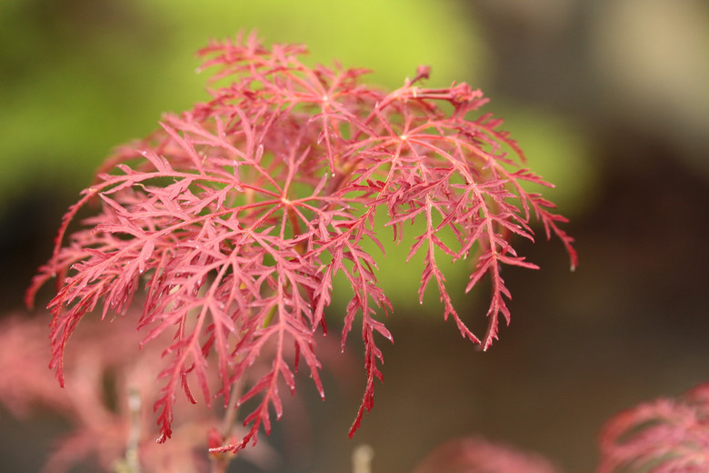 Acer Palmatum Red Feathers Japanese Maple Conifer Kingdom