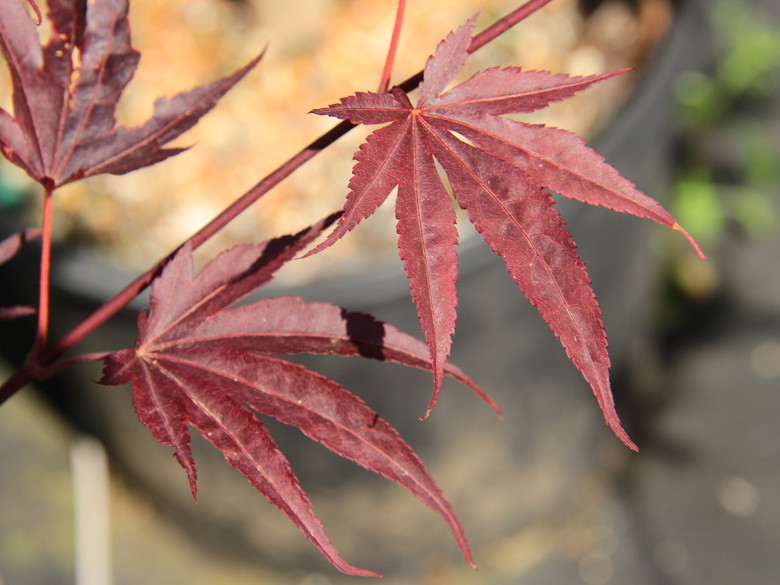 A medium-sized red maple with a very bushy form.