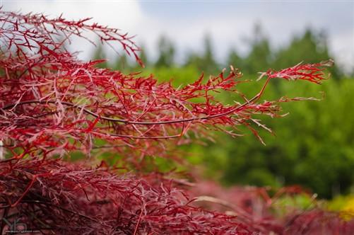 Acer Palmatum Red Filigree Lace Japanese Maple Conifer Kingdom