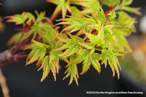 Tiny leaves on this petite maple are a nice light-green color in spring. Fall color is a host of orange and reds. One of the few truly dwarf maples. Excellent for bonsai!