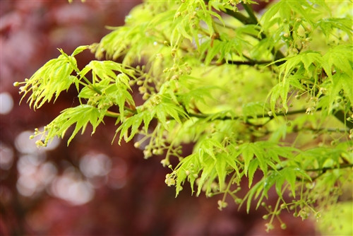 This dwarf Japanese maple, discovered as a witches broom on Aoyagi, offers dramatic four-season interest with flashy foliage and striking bark. New spring leaves emerge yellow-green, turn bright green during summer and golden yellow for fall. In winter, the compact tree's intensely green bark brightens otherwise gray days. Great for container or front of border, it rarely reaches six feet.