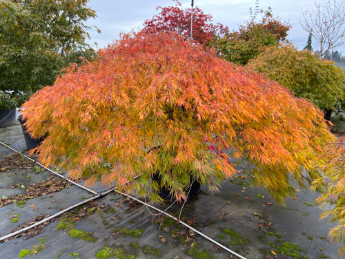 Named for its tasty spring show, this vigorous laceleaf Japanese maple boasts yellow-green spring leaves that look as if they have been dipped in cranberry juice.  Similar to Viridis in habit, this cultivar changes to bright orange in fall. Dissected leaves are delicate and lacy.