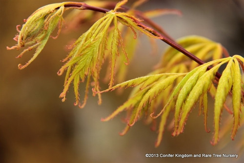 The leaves of this Japanese maple, which are somewhat dissected, produce a feathery appearance and a beautiful progression of color. In spring, the light-green leaves have a reddish cast; in summer, they turn green with orange-red tips and edges. This look persists until fall, when leaf colors range from gold to red. The slow-growing, bush-like selection may get as wide as tall.