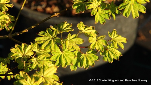 Gold leaves that do not burn in full sun! In summer heat, the color brightens. A new introduction.