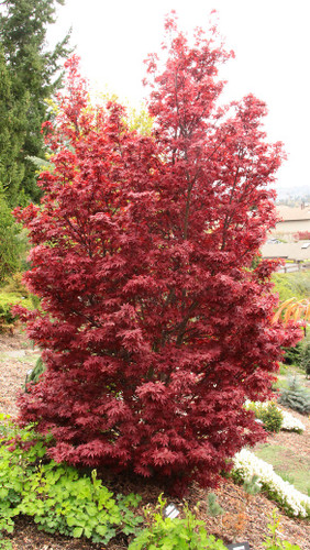 A columnar Japanese maple is quite uncommon, and the burgundy-red color of 'Twombly's Red Sentinel' makes it especially unique. Its slender, stately habit and dense branching selection a fitting choice for almost any landscape.