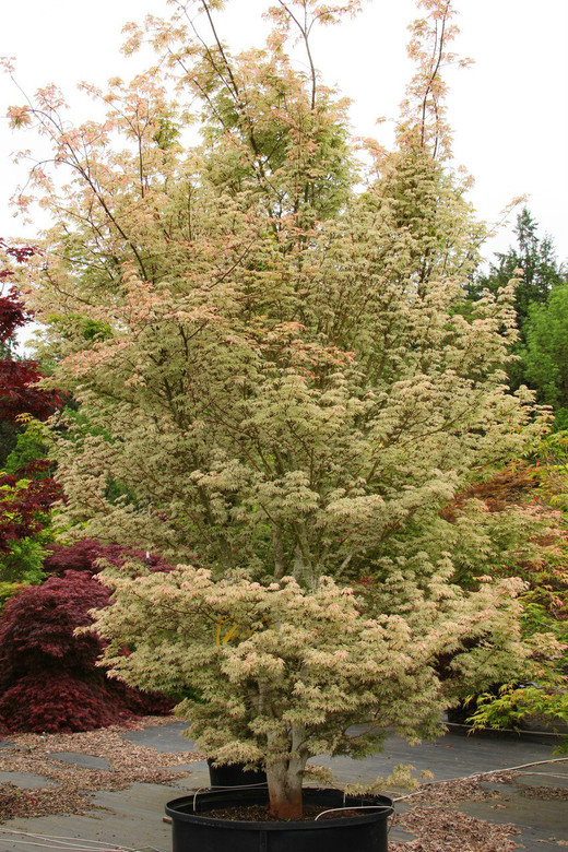 Variegation in pastel tones and leaves that may curl or twist distinguish this attractive Japanese maple. In spring, the light green leaves display white-pink spots, sometimes covering large areas.  In summer, the variegation softens, and in fall, the foliage goes gold.  The shrub-like tree benefits from protection from afternoon sun.