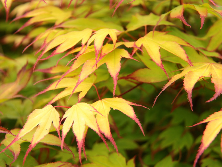"Green leaves have purple tips in spring that persist until early summer. Fall colors are red. Name means ""red nail."""