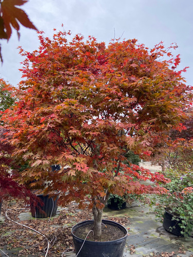 Acer palmatum 'Tsuma beni' _ Japanese Maple _