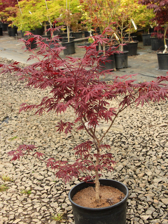 This fantastic purple-red upright Japanese maple is our favorite large red cultivar. It has unusual glossy leaves with deeply separated, rolled lobes that look like hands with fingers spread wide.  The tree contributes a rich, showy color that lasts through the summer and into fall, when leaves brighten to crimson.
