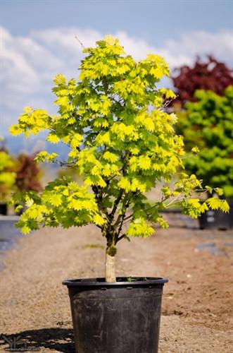 Acer Shirasawanum Aureum Japanese Maple Conifer Kingdom