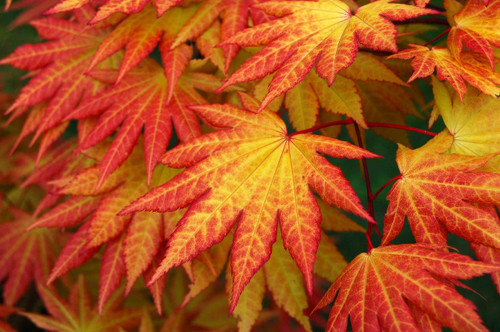 Very few Japanese maples can boast orange color, but Autumn Moon is truly one of a kind. The unusual coloring is strongest in full sun and lasts from when they first emerge in spring until autumn's rich orange-red dappling. A very extraordinary selection that is rather sculptural and slow growing!