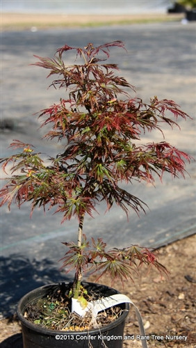 """The foliage of this low, slow-growing Full Moon maple looks fantastic throughout the season.  Bright pink-red spring leaves become orange-red with green highlights in early summer and bright red and orange in fall.  Chartreuse leaf bases and light petioles add to the appeal. In Japanese, the name 'Kawaii' means """"cute,"""" not to be confused with the Hawaiin island Kauai. Dissectum."""