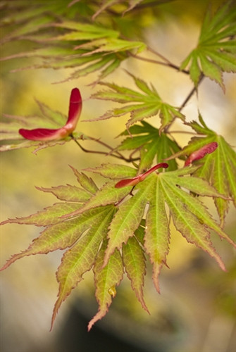 Simply stunning, the fall foliage of this Full Moon maple suggests a flaming sun with golden rays edged in bright scarlet. The pointed leaves emerge light-green with orange-red highlights in spring, and the accents persist in full sun. The name, which means moving fan, hints at the way the deeply divided leaves move in a breeze.