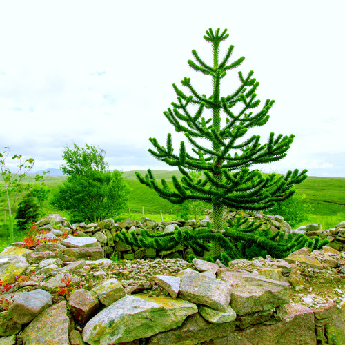 The unmistakable Monkey Puzzle tree surrounded by a stone wall.  Incredibly architectural plant with evergreen, spikey, succulent foliage.   Truly adds sculpture to any landscape.