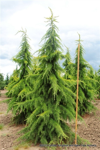 Bright gold color on this broad, pyramidal upright tree makes it really stand out in the landscape. Where the foliage is hidden from the sun, a more traditional green color is present, giving this large tree a two-tone appearance.