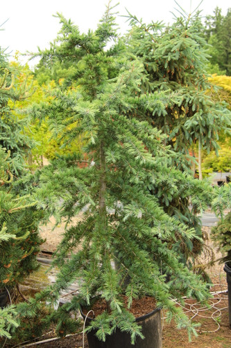 This form of deodar cedar has ascending branches with needles emerging a light yellow-green color, needles from the previous year sporting a glaucous appearance, and needles from two or more years ago the traditional blue-green color of most deodar cedars. A truly outstanding plant with a fantastic color contrast especially in the spring.