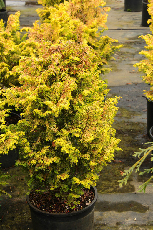 Lacy, golden-yellow foliage hangs gracefully from each branch of this upright, dwarf conifer. Color changes to a beautiful orange-bronze in winter, while showing no sign of burn in full sun during the summer.