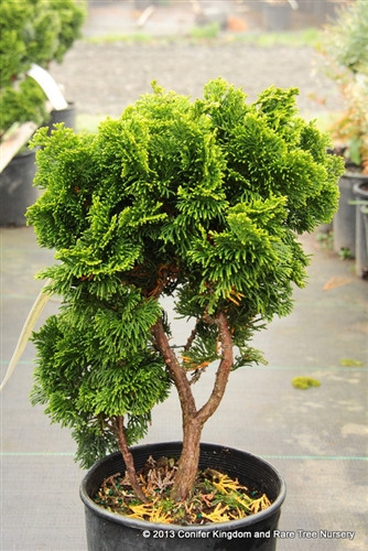 Dark-green foliage is arranged in a beautiful, swirling pattern. This compact, dwarf conifer makes an excellent rock garden plant and is great for bonsai.