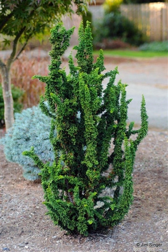 Juvenile foliage has a very unique appearance on this upright, miniature conifer. Dark green color and a very open habit make this plant a distinctive conifer for the rock garden or grown in a container.