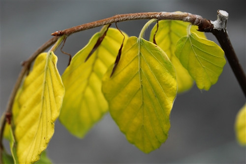 Golden-yellow leaves grow from drooping branches on this narrow, colorful selection of beech. Found as a sport on 'Pendula' in Holland.