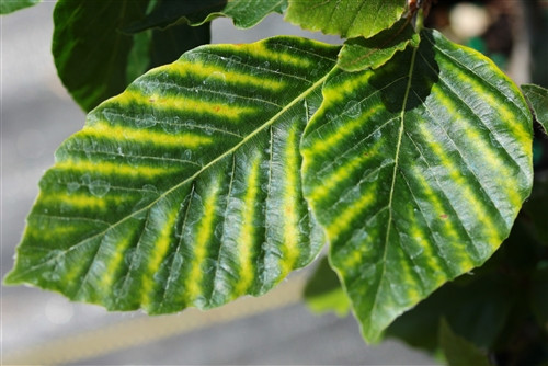 Each leaf is striped with a varying amount of a creamy-yellow color, giving the tree an overall mottled appearance. Quite spectacular throughout the growing season.