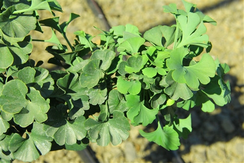 This compact ginkgo was found as a witch's broom in Wadsworth, Ohio by Bill Barger.