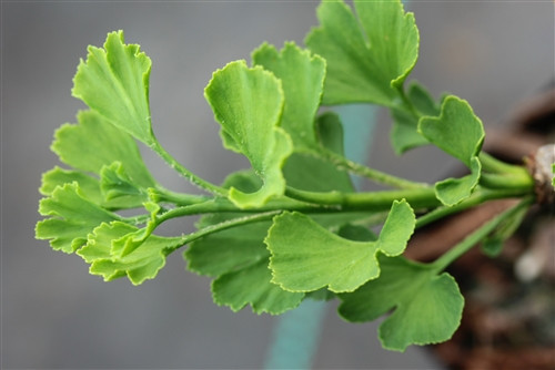 This globose ginkgo has a tidy, very neat appearance and beautiful, light-green leaves with ruffled margins. A choice, slow-growing variety that is fairly new!
