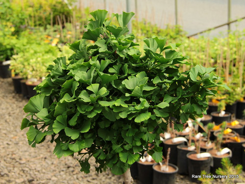 This very dwarf cultivar has tiny bunches of rich-green leaves that transform to a brilliant gold in autumn. Its dense, irregular habit makes it a very ornamental plant.