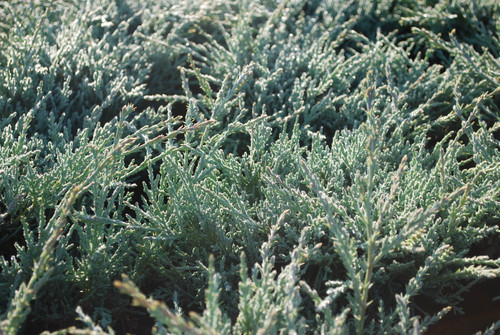 Bright, silver-blue foliage on this spreading juniper has a fluffy texture and a soft appearance. A unique juniper that looks great in accompanied by golden conifers.