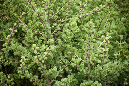 In spring, the new growth of this small, globe-shaped American larch hints of sparklers, as new blue needles with powder-blue and green tones burst on the scene. In fall, the needles of the extremely hardy deciduous conifer change to an excellent, rich yellow.