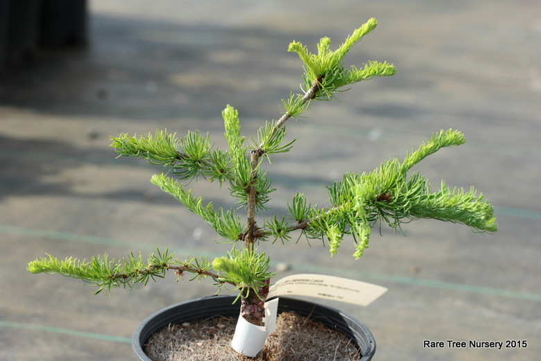 Bright green needles are borne on faster-growing, sometimes twisted branches. This unique larch is a nice, slower-growing alternative to 'Diana'.