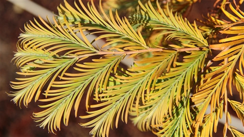 Deciduous. Originated as a witch's broom at the University of Michigan Matthaei Botanical Gardens. It has soft green foliage with compact branches forming a globose shrub which develops a leader as it matures. A fantastic redwood for small gardens. It is also known as 'Headhunter' or 'Head Hunter.'