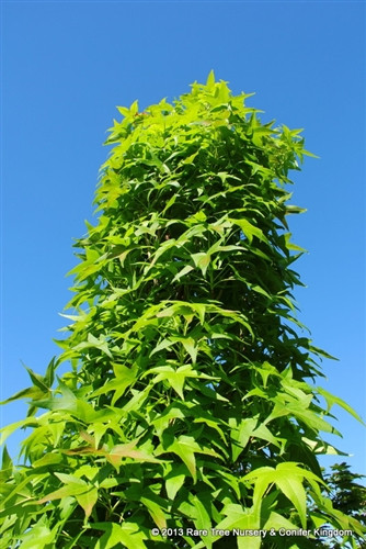 Large, light-green leaves densely cover the upright branches of this narrow broadleaf tree. This tree will remain narrow as it gets taller with age. An excellent vertical accent in a formal landscape.