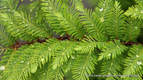 Miss Grace is the first dawn redwood with pendulous branches. This truly outstanding introduction has gracefully weeping branches with delicate, soft, gray-green foliage and a beautiful sculptural form. If staked, it can be rather tall and narrow. Left unstaked, it will form a billowing, low pyramid. Very tolerant of moist soils. The deciduous foliage goes rich orange in fall before dropping to show off beautiful peeling bark for winter.