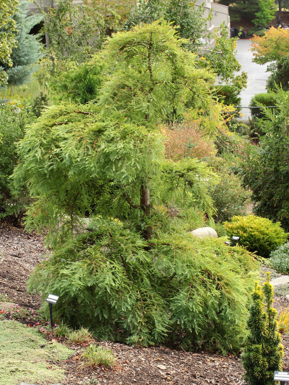 Metasequoia Glyptostroboides Miss Grace Dawn Redwood Conifer Kingdom
