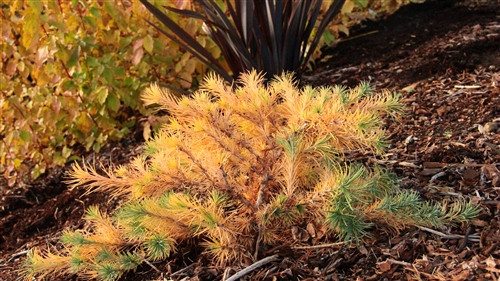 A bushy larch with foliage a blue-green color in spring and summer, later changing to a glorious golden color for fall. One of the more popular varieties of Japanese larch.