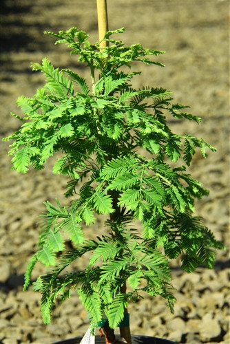 This uncommon selection of Dawn Redwood develops a dense, globose shape. A wonderful new introduction with a truly dwarf growth rate!