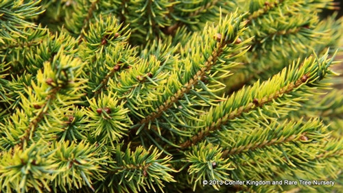 Picea abies 'Gold Dust' _ Norway Spruce _