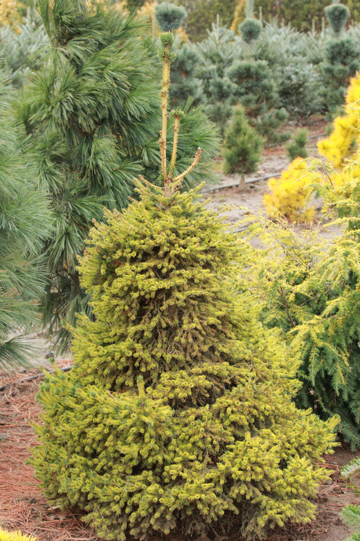 A very unique-colored spruce, having golden tones sprinkled throughout the foliage. The diminutive needles and the upright growth add to the beauty of this dwarf tree.