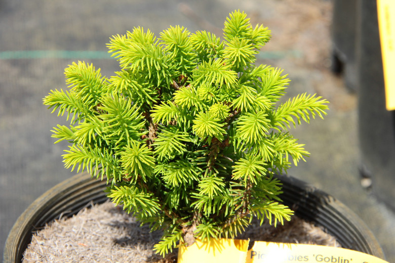 This tidy, slow-growing form of Norway Spruce makes a dense, globose dwarf. Its rich green needles and choice growth habit make it an excellent rock garden selection.