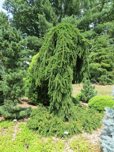 A large weeping mound form of the Norway Spruce. Often seen in cemeteries and historical locations. The Norway spruce names are greatly mixed up in the trade. This mound form which we are describing can also be sold as 'Pendula' and is likely the same as 'Reflexa.' Either way, this is the mound form that develops a great skirt and there is no distinct upright central leader.