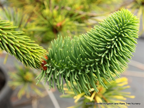 Picea abies 'Virgata'