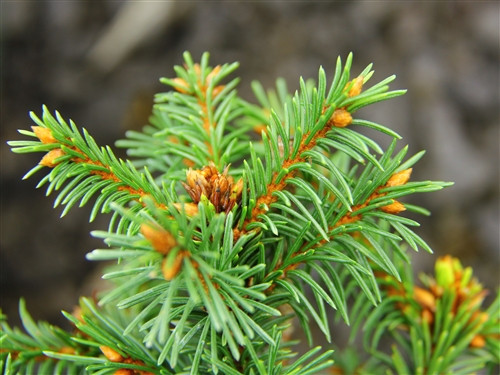 A peculiar, miniature variety with dense, dark-green foliage. It eventually produces red cones as it matures!