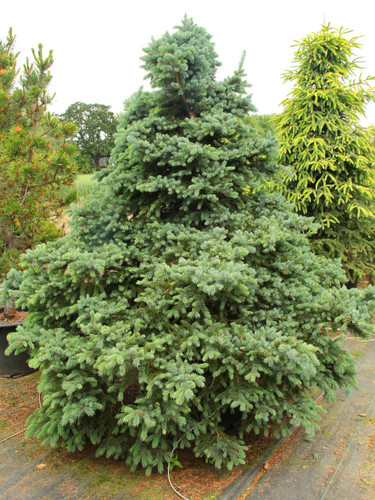 This unique Engelmann spruce starts out as a rather irregular, sprawling/mounding spruce with bright blue, long and pointed needles. As it ages, it becomes more of a dense pyramid, forming a perfect Christmas tree shape.