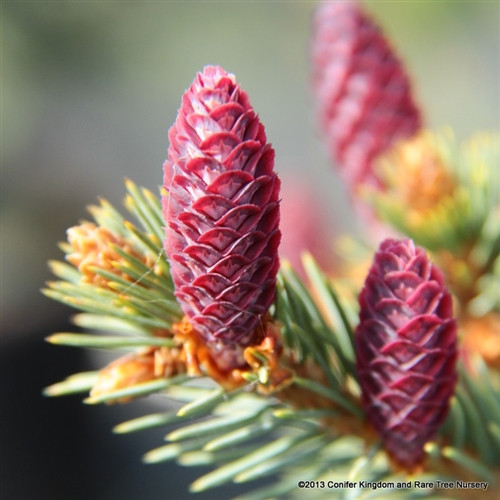 New growth hangs, making the otherwise upright plant appear to have weeping tertiary branches. The growth stiffens by summer. Purple-red cones in spring. Most would confuse this for an unusual Picea pungens.
