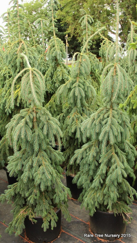 A narrow weeping form with a layered or stacking appearance. Cultivar was introduced in France by 1867, and is still seen too infrequently today!