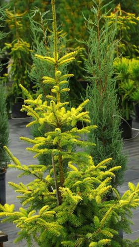 The needles of this narrow conical Serbian spruce start out yellow-green but gradually change to blue and green producing a mix of shades of gold, blue and green. To assure the most vibrant gold, we take cuttings only from stock plants that are very yellow. Many other nurseries offer 'Aurea' that are not nearly as bright.