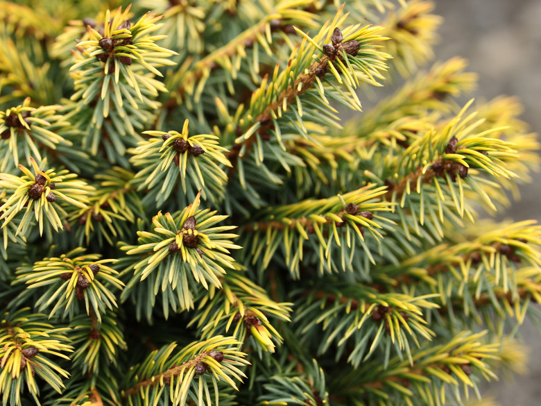 A dwarf globose form with golden-highlighted blue-green needles.  The golden color is phenomenal, as is the compact size.  As it matures, it becomes more pyramidal.  It was found as a sport on a Picea omorika 'Nana' at Vergeldt Nursery, The Netherlands.  Also known as 'Tijn.'
