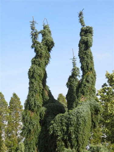 Very narrow and possibly the most pendulous upright Serbian spruce, this weeping tree develops a leader that grows straight without staking. Branches hang down close to the trunk. Also listed as 'Bruns Pendula' by some nurseries, it was chosen Collectors