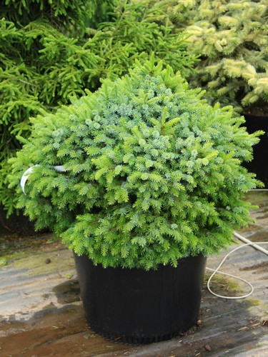 This dense, globose Serbian spruce boasts a unique display of two colors: its green needles are flipped and held upright to show off their silver-blue undersides. As the low conifer matures, it can form a leader, which gradually changes the shape to that of a pyramid.